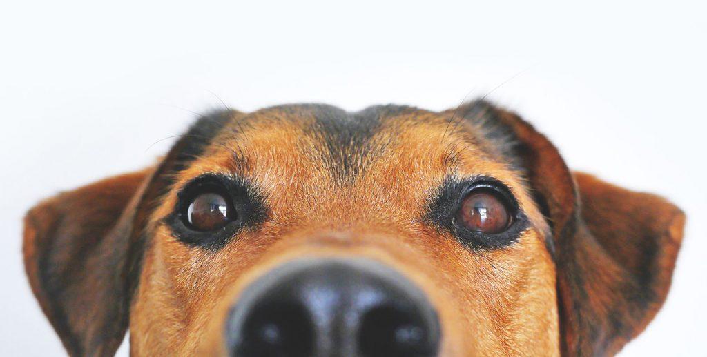 Met een vaccicheck weet je precies of je hond voldoende bescherming heeft tegen allerlei ziekten.