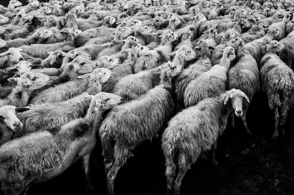 Een kudde schapen waarin alle schapen dezelfde kant op gaan