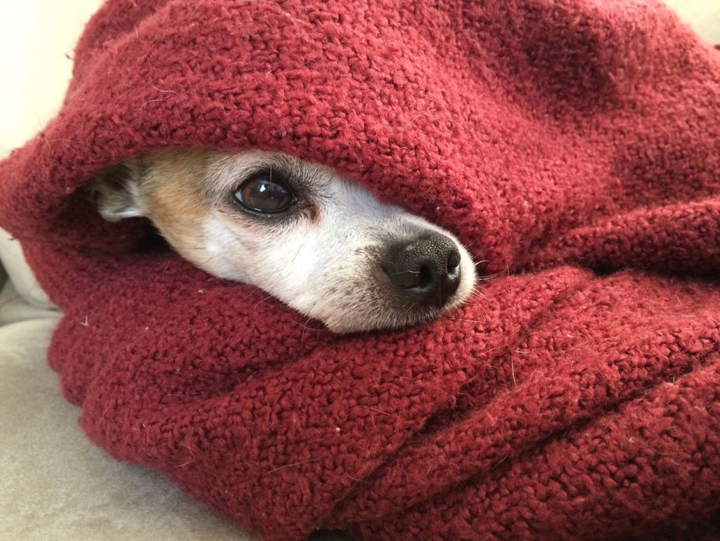 hond met vuurwerkangst, angstige chihuahua ligt onder een deken